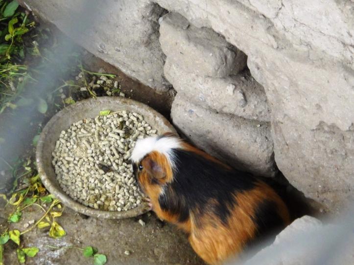 Huaca Pucllana - Cuy (a galera come esse bichinho fofo)