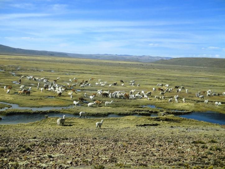 Llamas e alparcas da Reserva Nacional de Salinas y Aguada Blanca