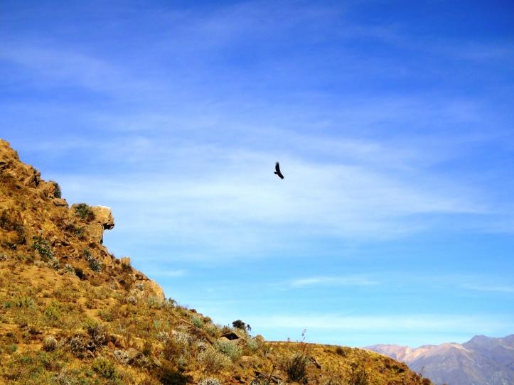 O condor