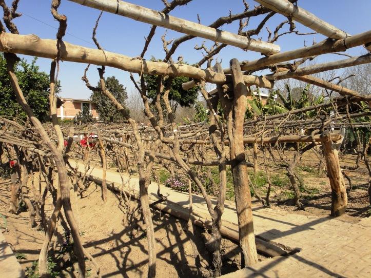 Plantação de uvas na vinícola