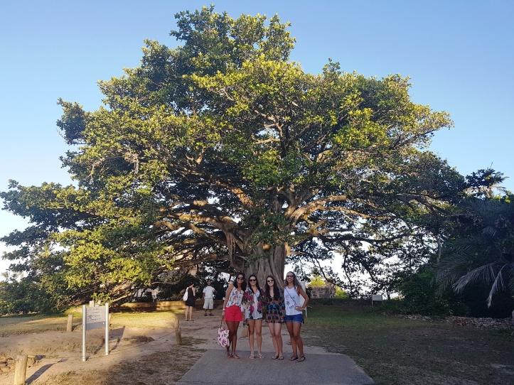 Castelo - árvore centenária