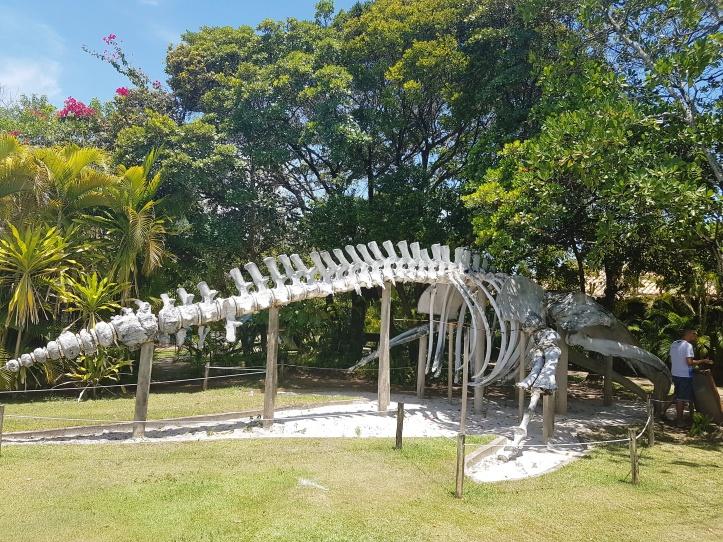 Esqueleto de uma baleia Jubarte