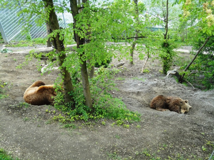 Ursos nas margens do rio Aar